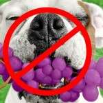 Dogs can NOT eat grapes!